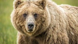 Yellowstone Hiker Killed in Grizzly Bear Attack