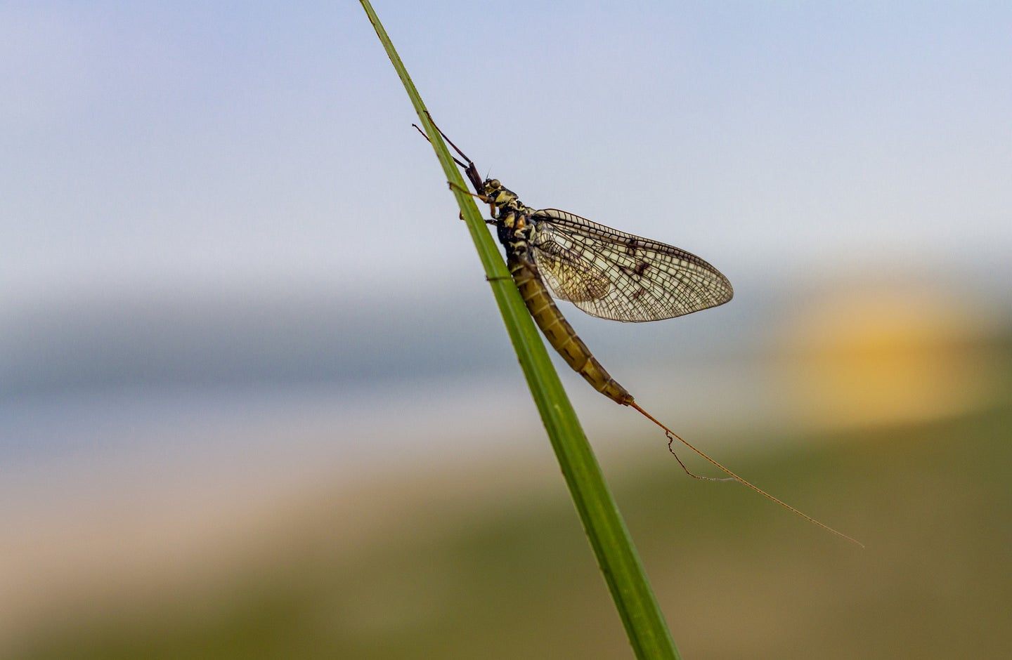 mayfly on a blade of grass.