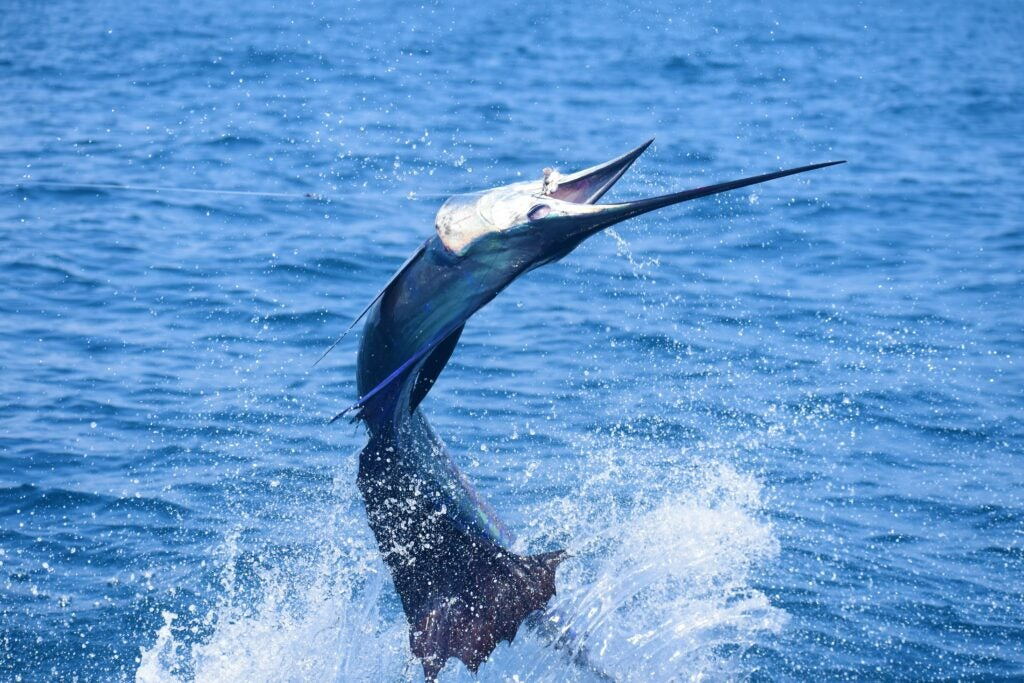 Sailfish jumping out of the water.