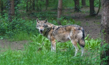 Hunters and Antis Clash Over Gray Wolf Lawsuits