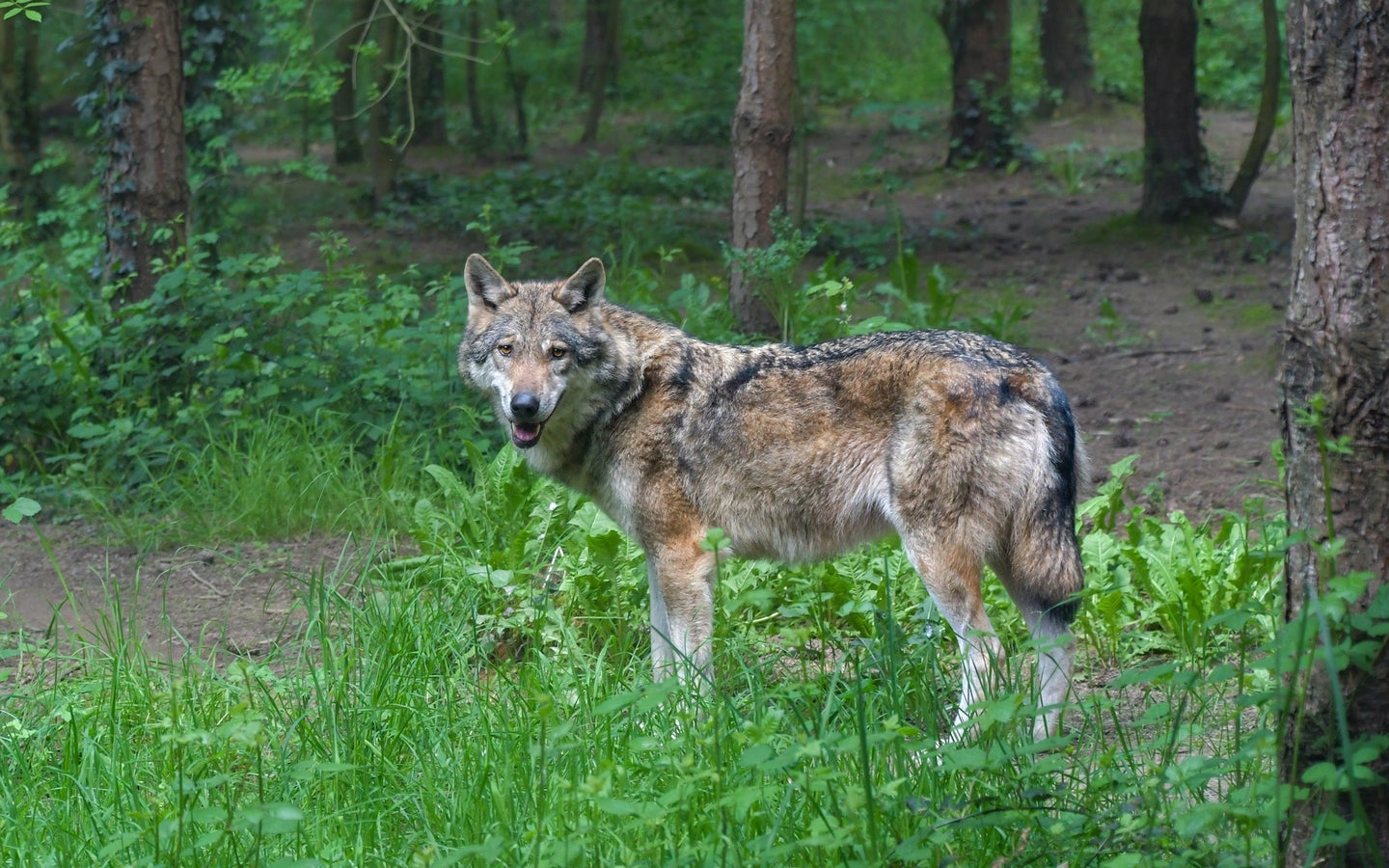 gray wolf in the forest.