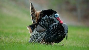 A strutting wild turkey.