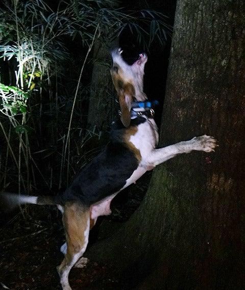 treeing-walker-hound