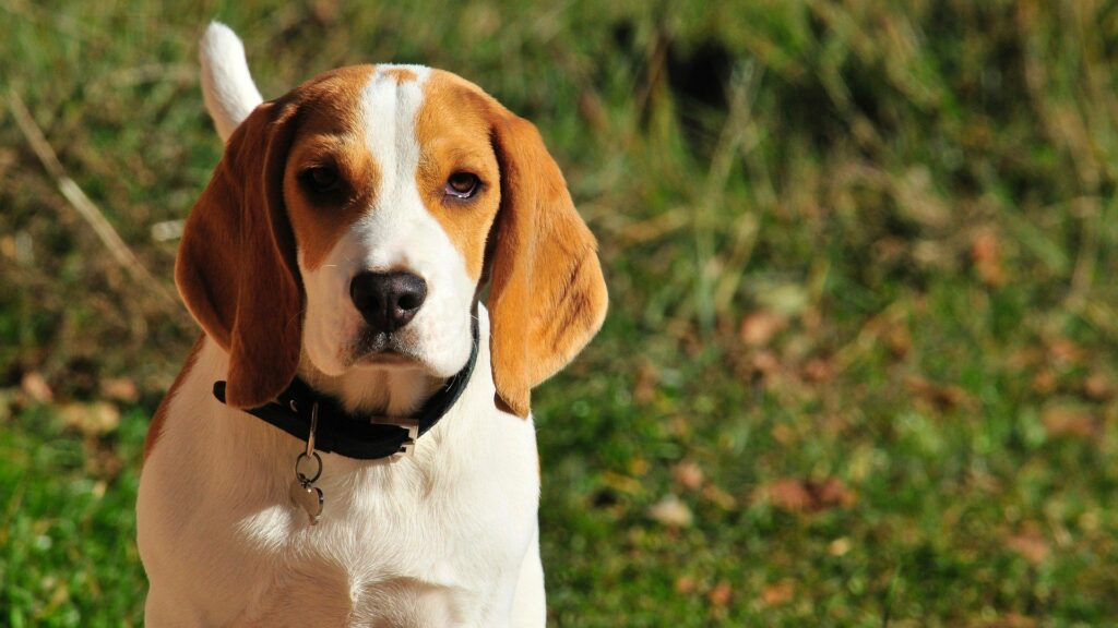 beagles are great dogs for hunting small game.