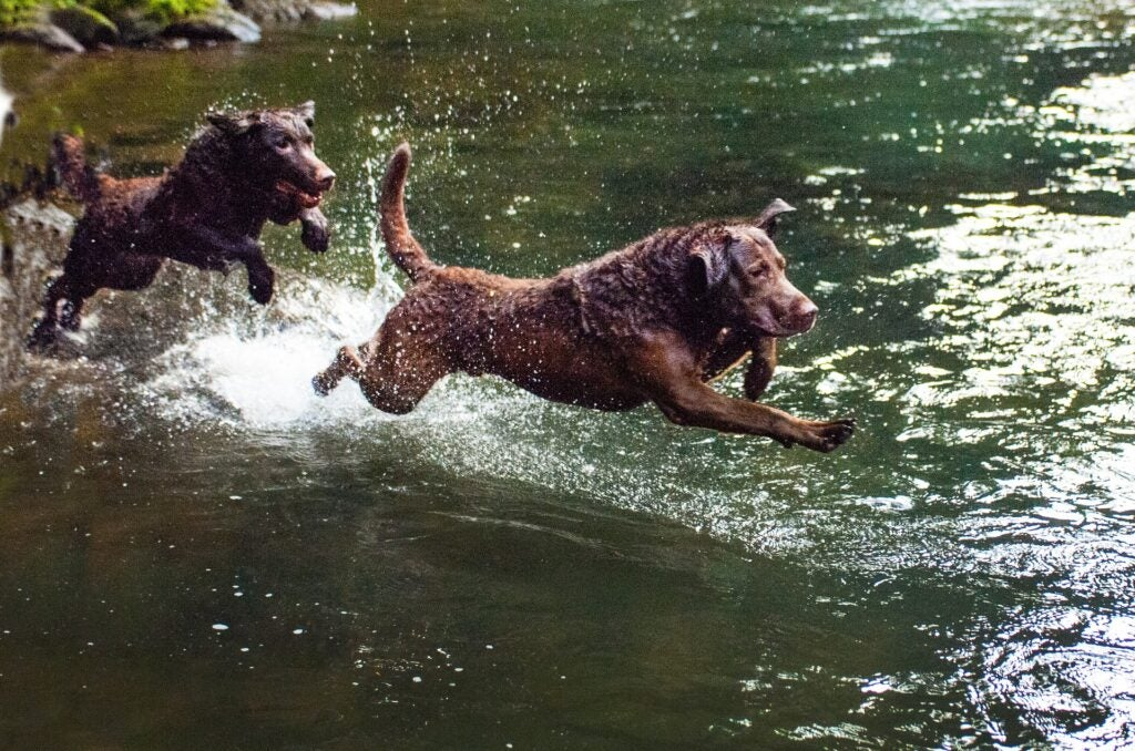 Chesapeake bay retrievers jumping in the water