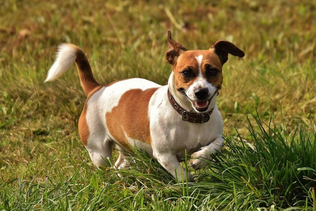 Jack russell terrier runs in a field