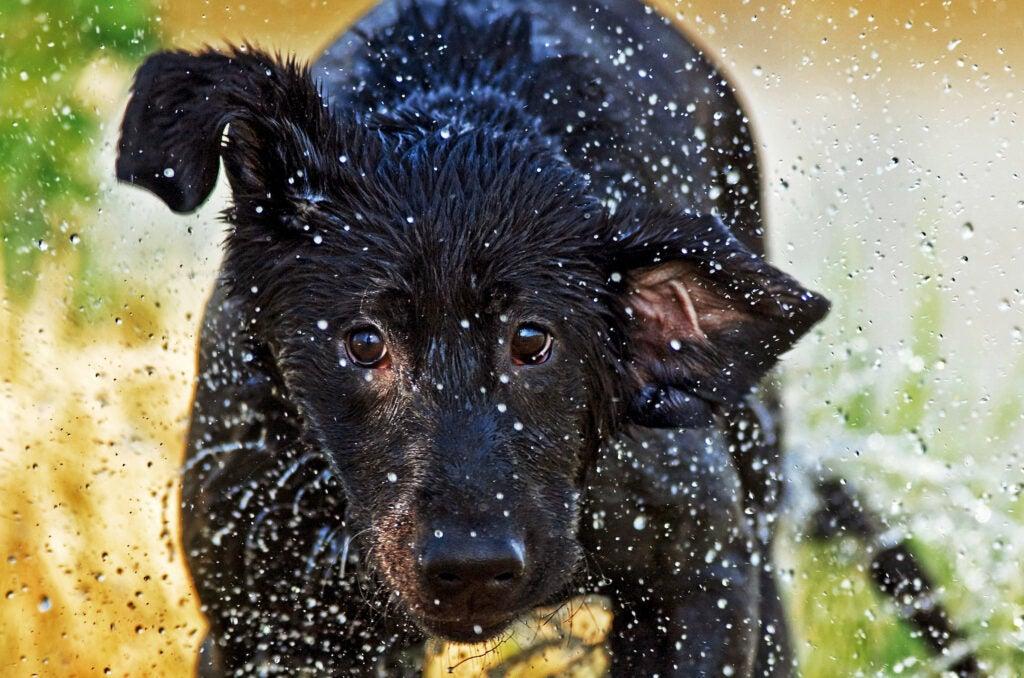 Labrador retriever runs through water on a hunt.