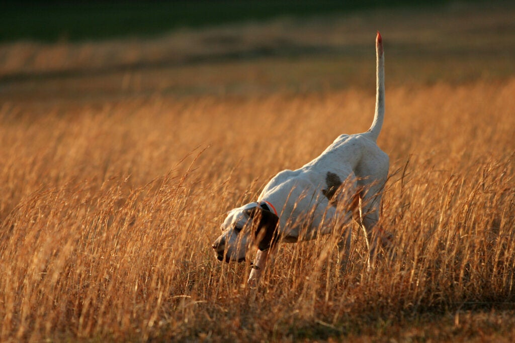 Pointer finds a bird on an upland hunt.