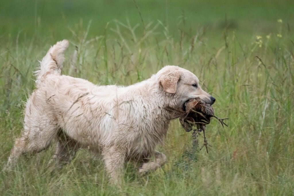 Golden retriever retrieves a bird on a hunt.