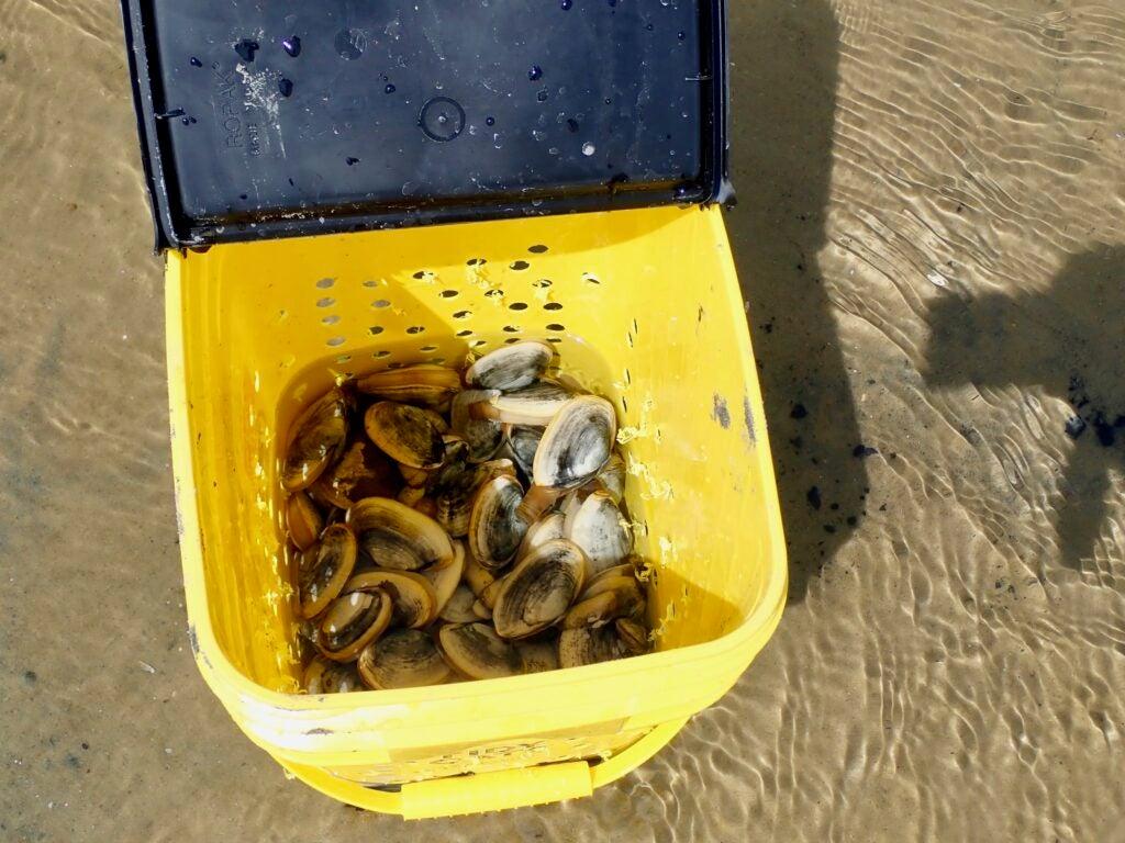 Bucket full of clams.