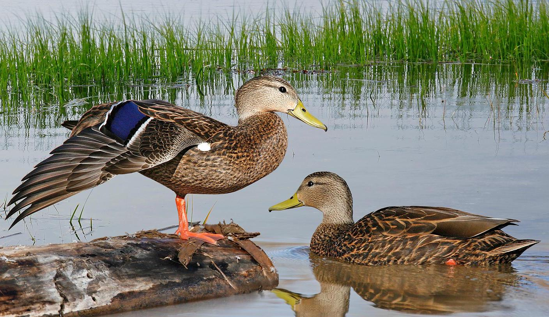mexican ducks.