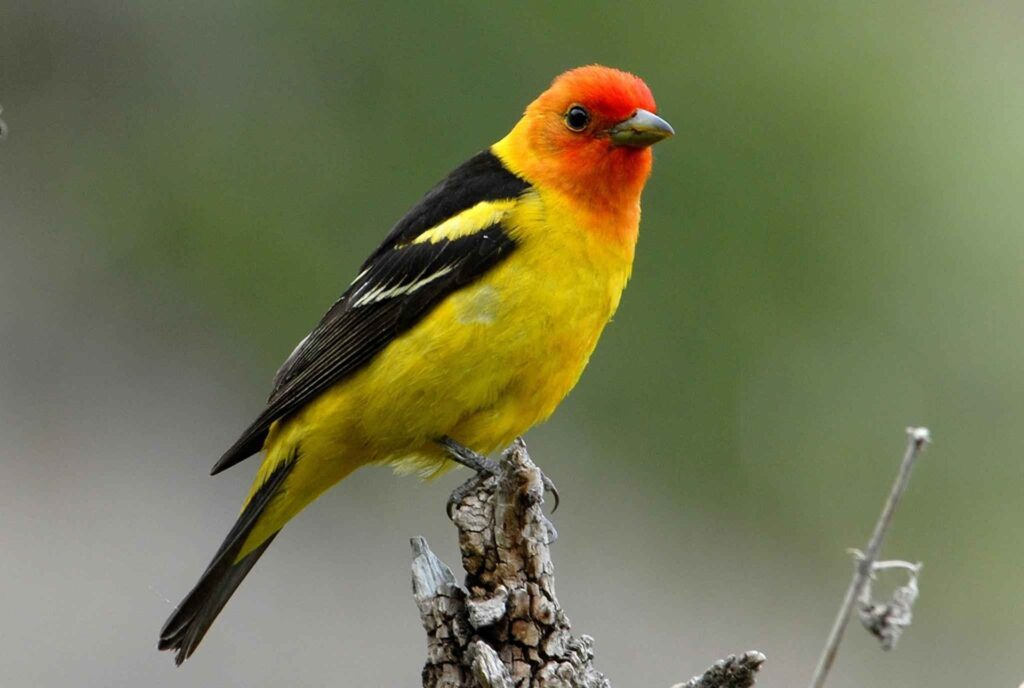 A western tanager.