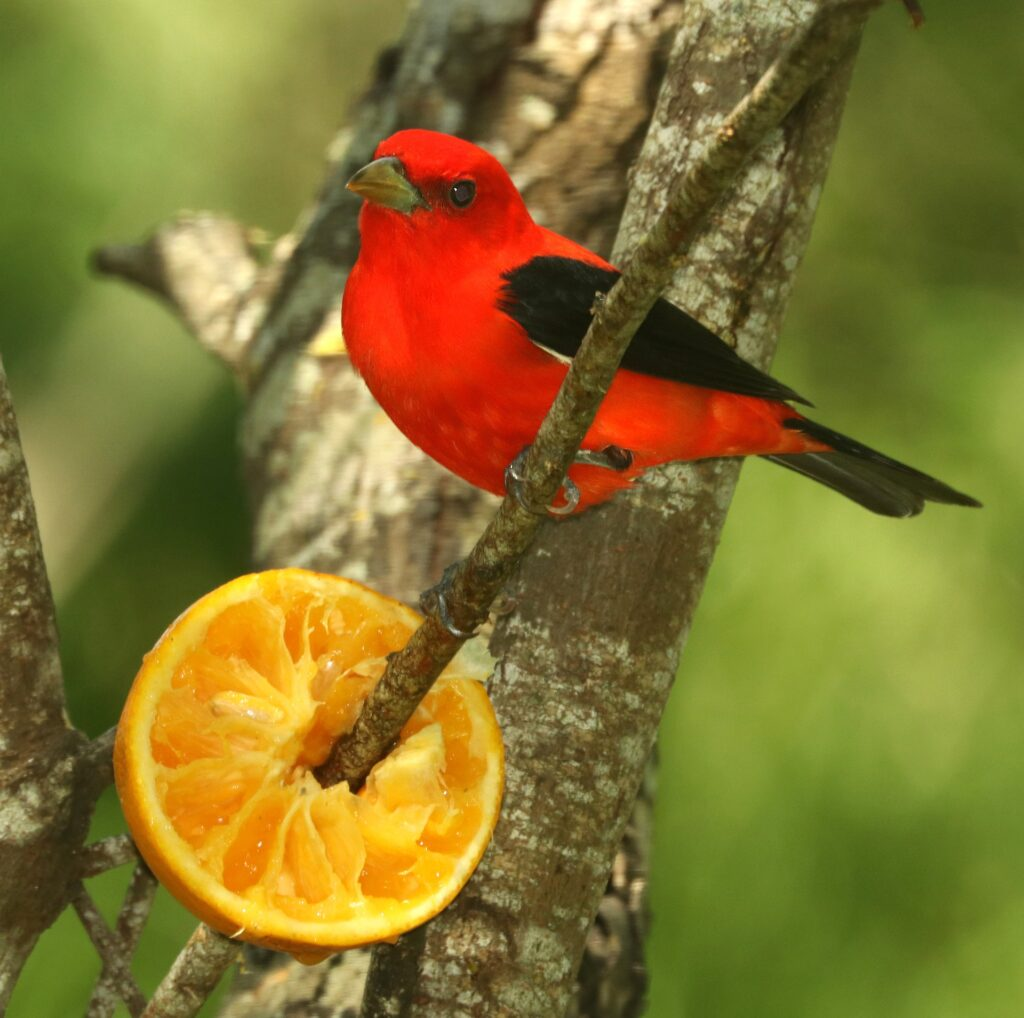 A scarlet tanager.