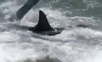 Video: Thresher Shark Gets Extremely Close to New Jersey Beach