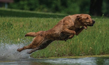 Exertional HRI in Dogs
