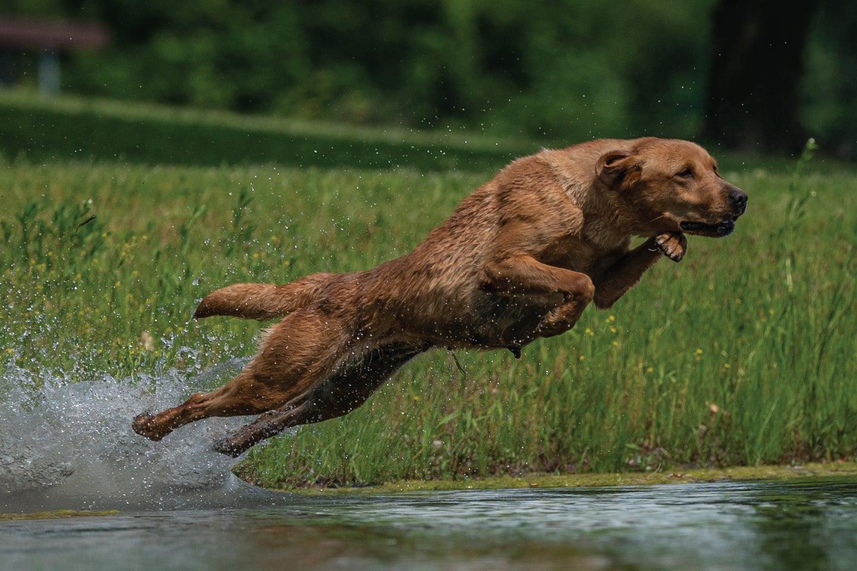 Waterfowl dog trains for hunting season.