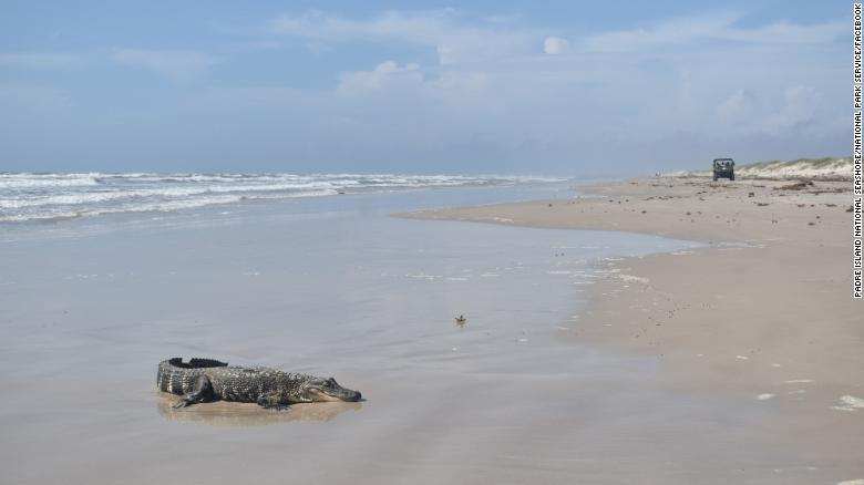 Louisiana 'Mystery Gator' Shows Up On Texas Beach