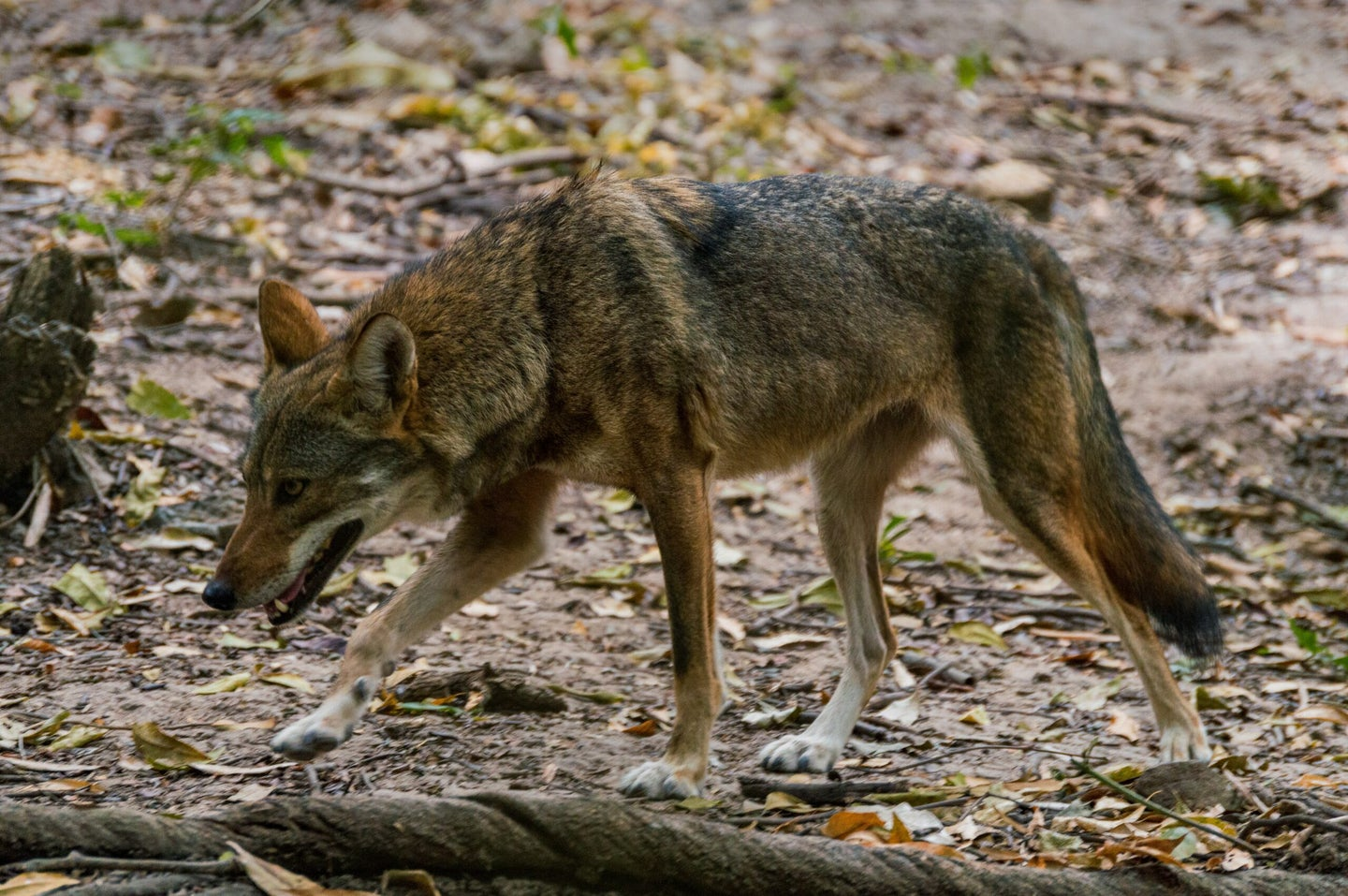 coyote walking in the forest.