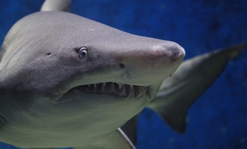 Cape Cod Shark Detections Up Dramatically