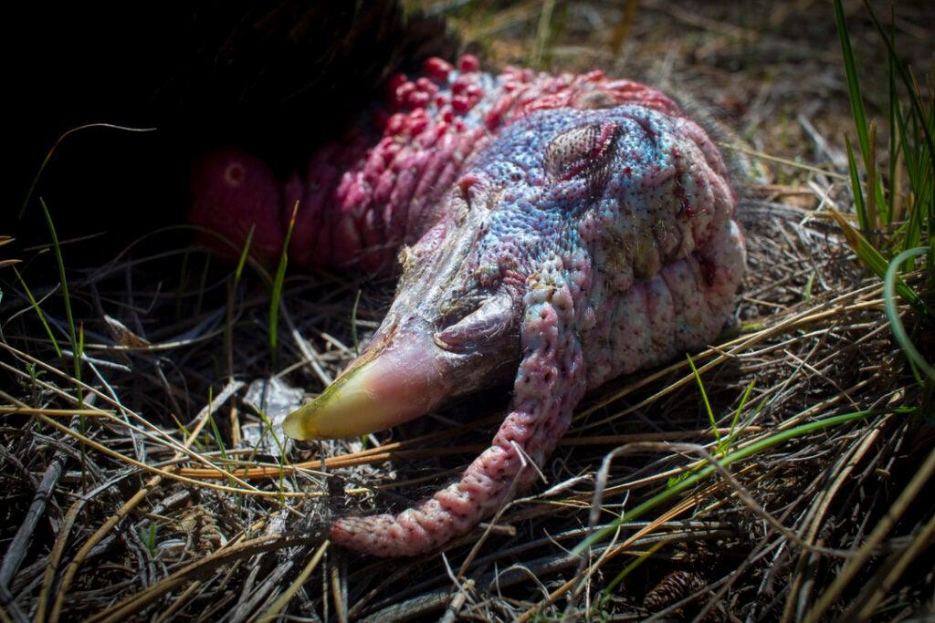 Merriam's turkey.