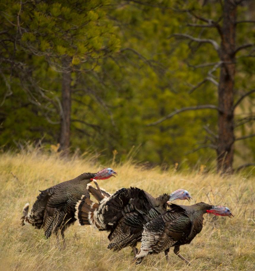 Merriam's turkeys