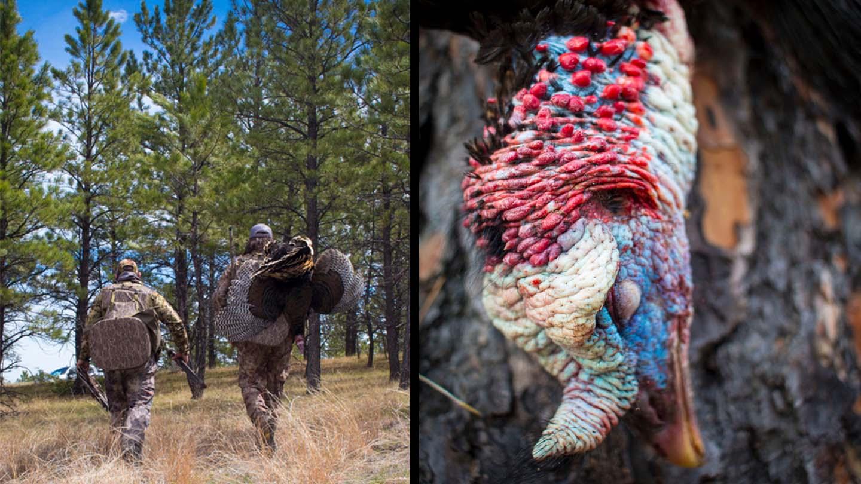 Montana turkey hunting