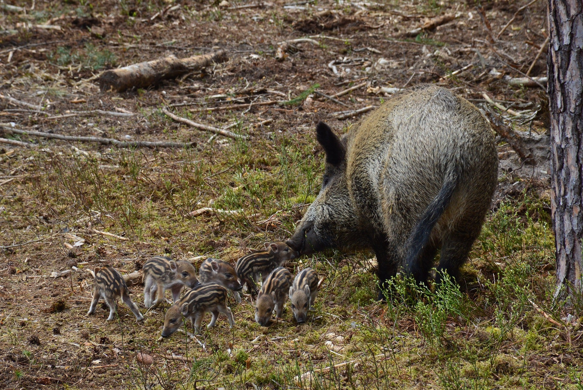 Texas Touts HogStop Contraceptive in War on Wild Pigs