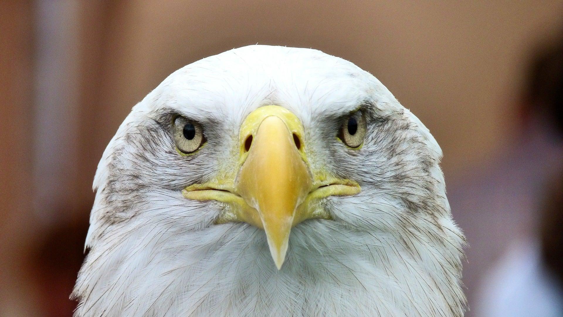 Bald Eagles Attack Idaho Farm, Killing 54 Lambs