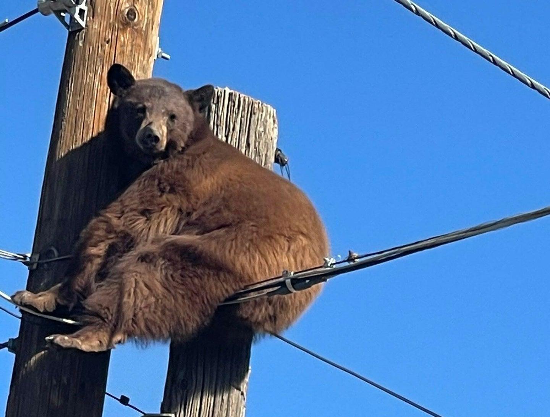 Bear Climbs Power Pole, Avoids Getting Shocked