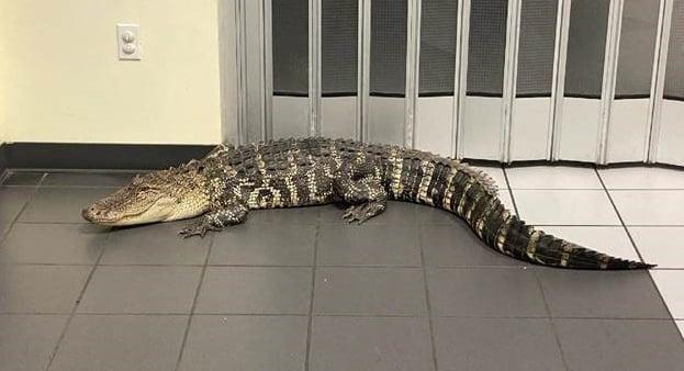 Florida Alligator Found in Florida Post Office