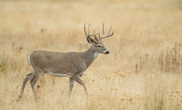 Where'd My Buck Go? Whitetail Travels 200 Miles in the Middle of the Rut