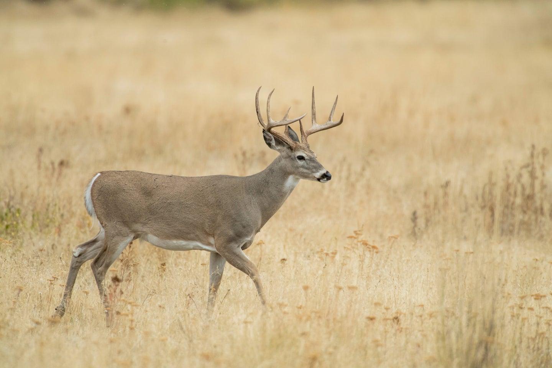Whitetail deer walking.