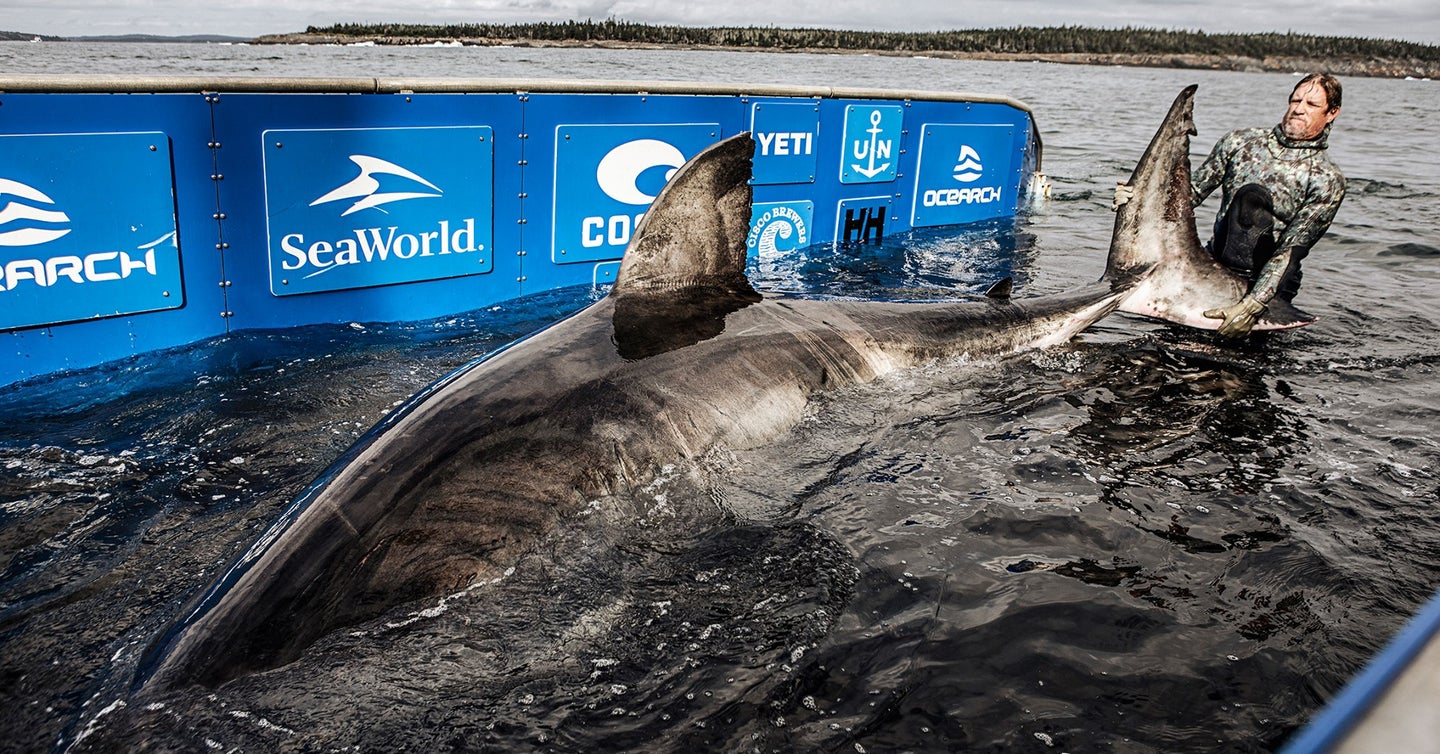Monster Great White Sharks Summer in Waters off the Northeast