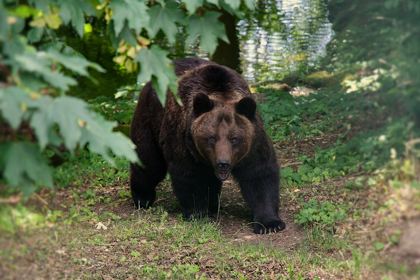 Missing Alaska Hiker Charged by Bears is Found Alive