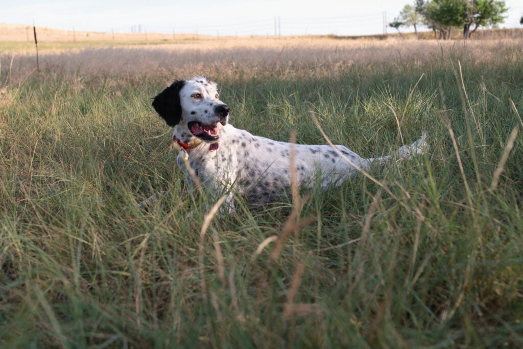 In hot, humid conditions, give your gun dogs frequent breaks so they can cool down.