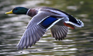 Drought Slashes ND Duck Numbers—Mallards Down Almost 49 Percent