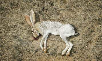 No Small Game: A Jackrabbit Hunting Adventure in the Southwest