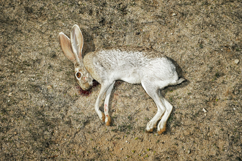 A jackrabbit shot on a hunt in Arizona