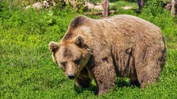 brown bear in a green field.