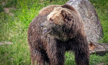 Grizzly Bear Mauls and Kills Montana Camper