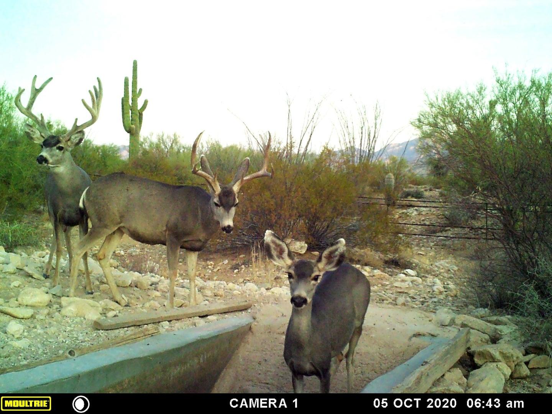Trail Camera photo of Arizona Mule Deer