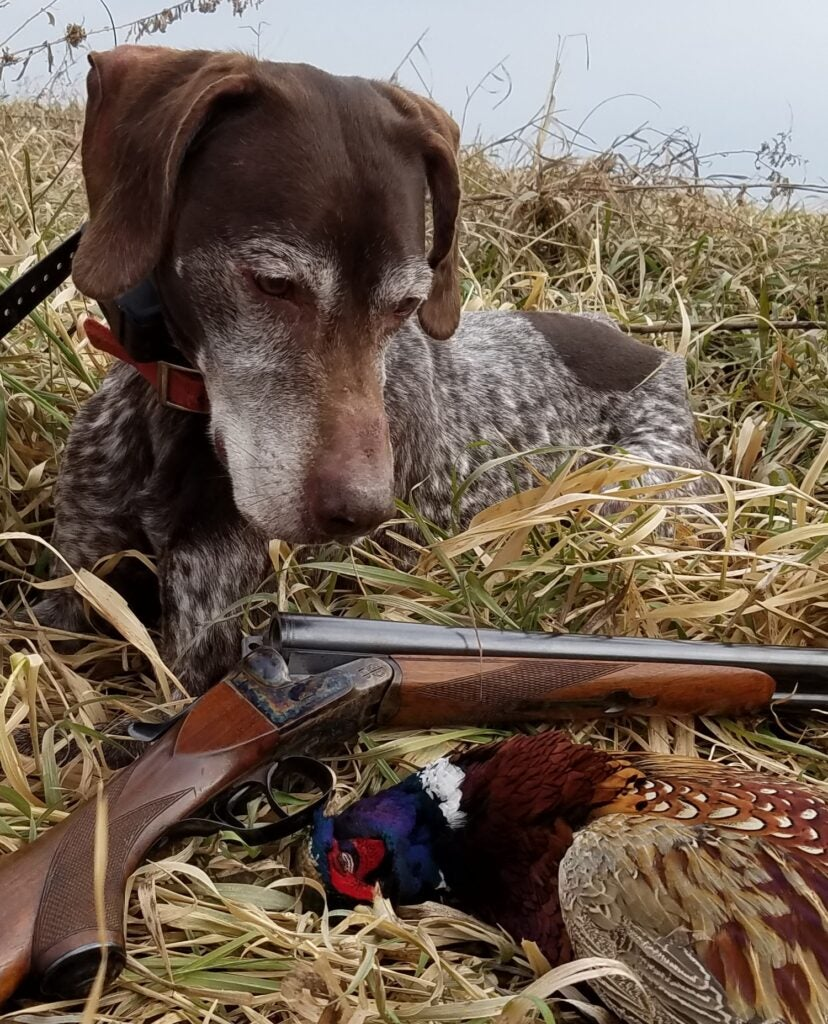 dog with dead pheasant and upland shotgun