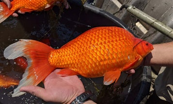 A 9-Pound Goldfish? Yes, But the Discarded Pets Are a Problem for Other Species