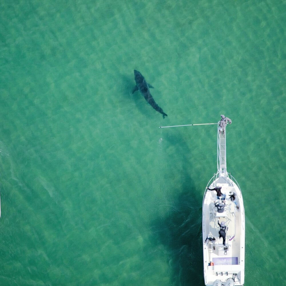 Aerial Cameras Spy on White Sharks as They Hunt Down Seals