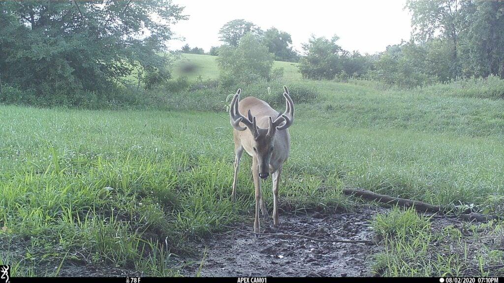 Whitetail deer near water source