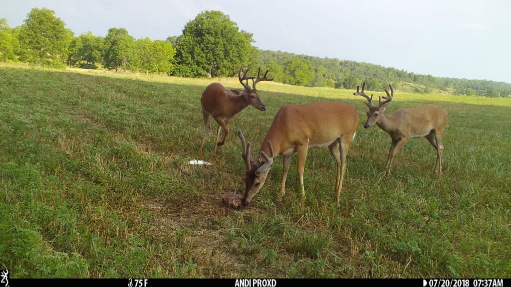 whitetail deer on mineral block