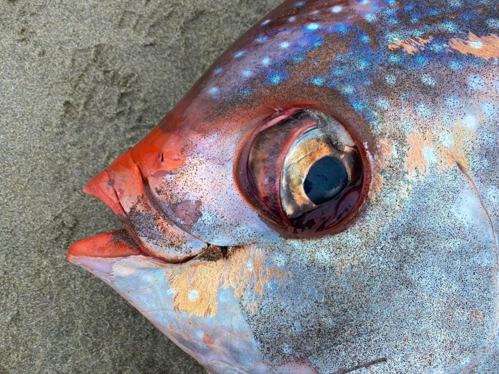 moonfish or opah on the beach