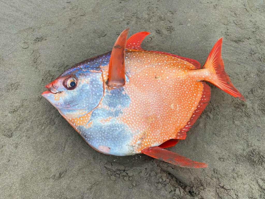 Moonfish washed up on the beach.