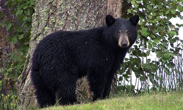 All New Jersey Black Bear Hunting Canceled for 2021