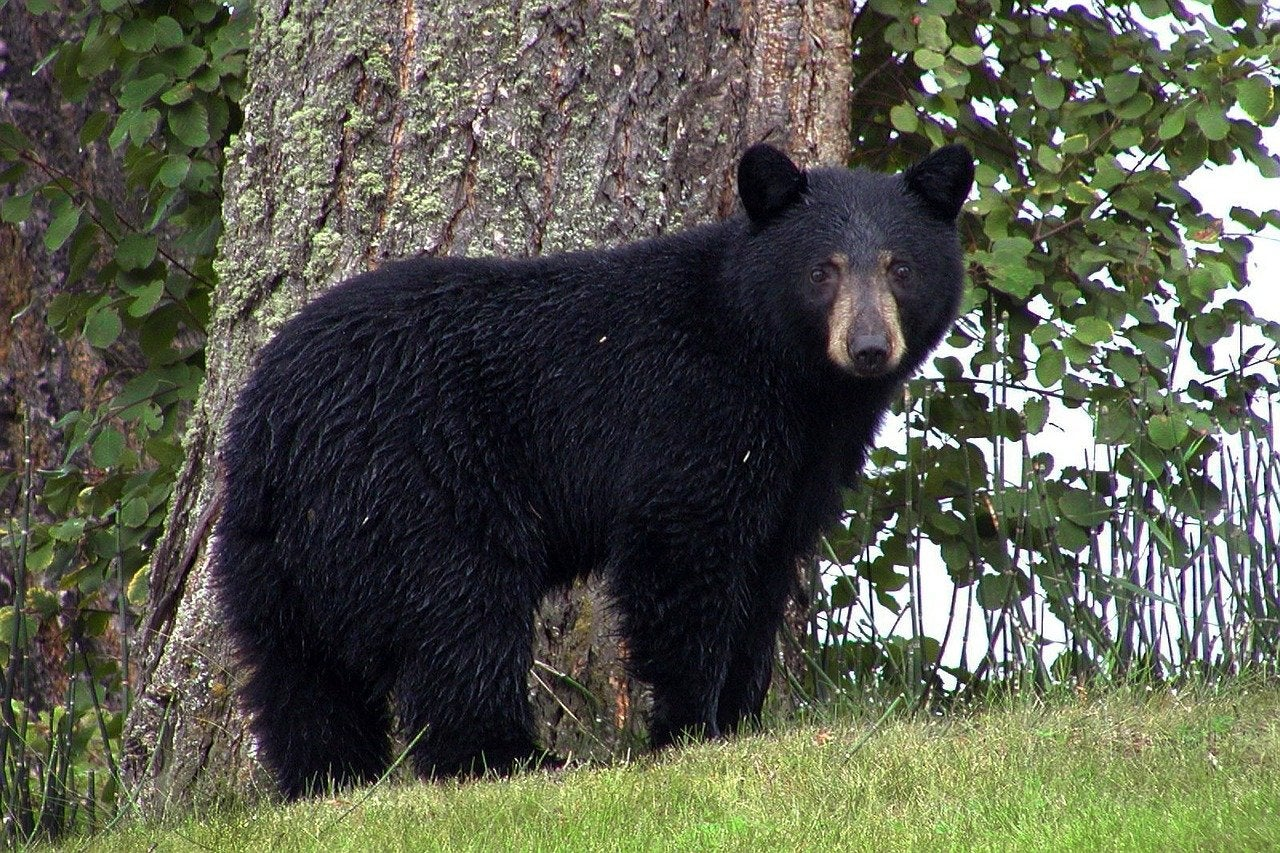 black bear standing in front of a tree.